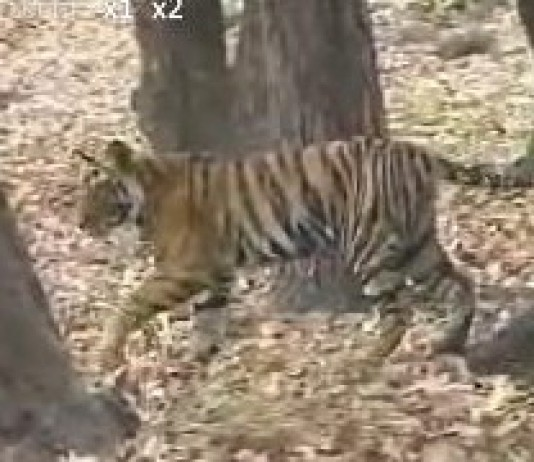 "India's tigers need ""miracle"" to survive"