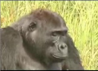Gorillas of the Northern Congo