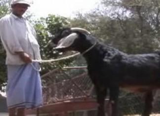 Milking a male goat