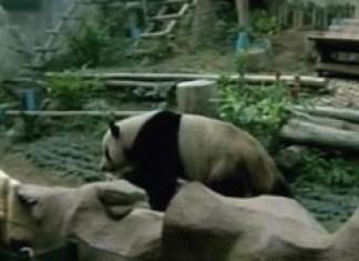 """Panda Porn"""